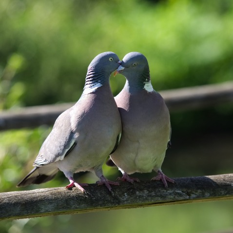 pigeon-2332702_1280